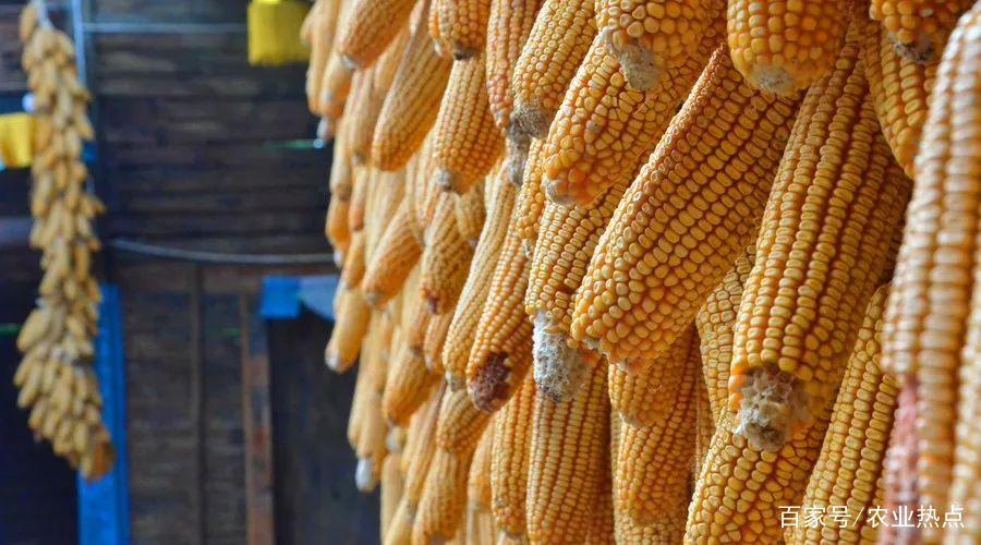 东北华北玉米价格两极分化加大,山东地区涨价仍需本地粮源的消耗