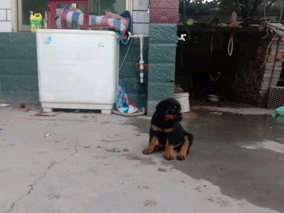 小狗一定会安心在家?并不是,罗威纳总想跑出去玩儿