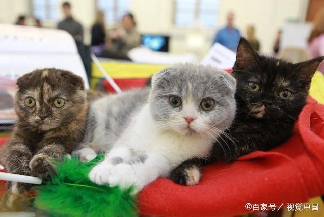 新年将至,节日期间猫咪身体应该注意哪些?一篇文章告诉你!