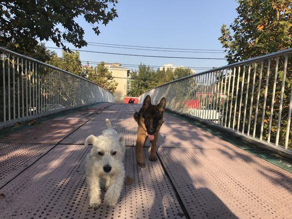 网友带雪纳瑞出来逛一下,雪纳瑞在天桥上玩儿起来了