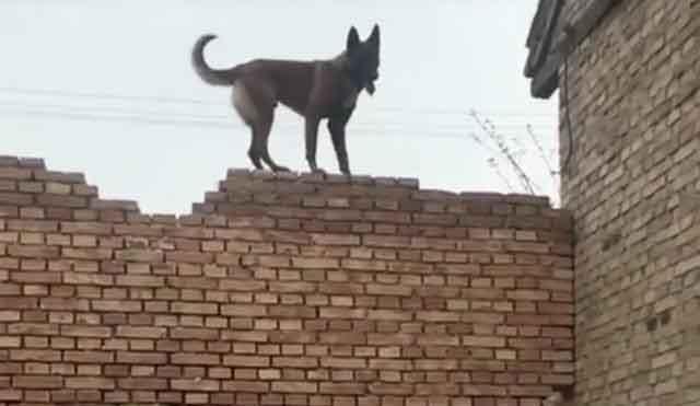 网友买了只马犬,经过一段时间的训练可了不得了,飞檐走壁