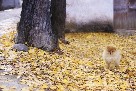趁着秋意正浓,带上博美一起去拍照吧!银杏树走起