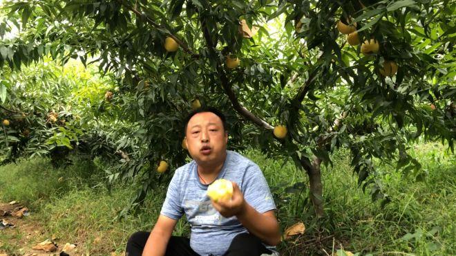 今年桃子价钱不是很好,但这种黄蜜桃是个例外,大家来了解一下