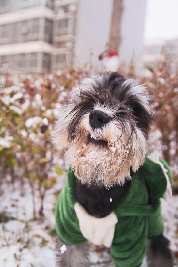 雪吃多了是不行的,这只雪纳瑞已经扛不住了吧!