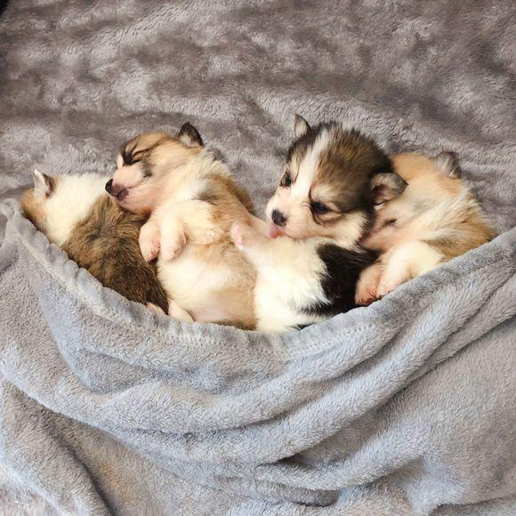 柯基宝宝们睡觉好有爱,它们彼此依靠着,睡醒也不会独自溜出去玩