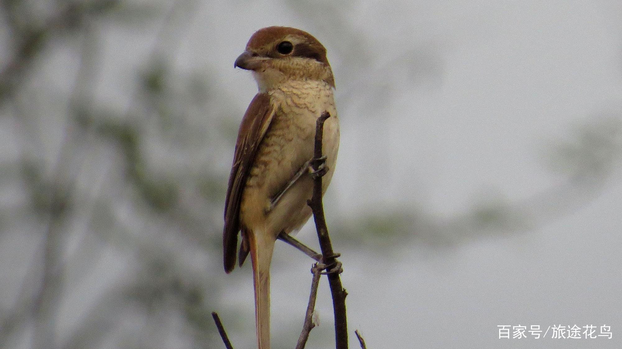 我的鸟种记录004——棕背伯劳
