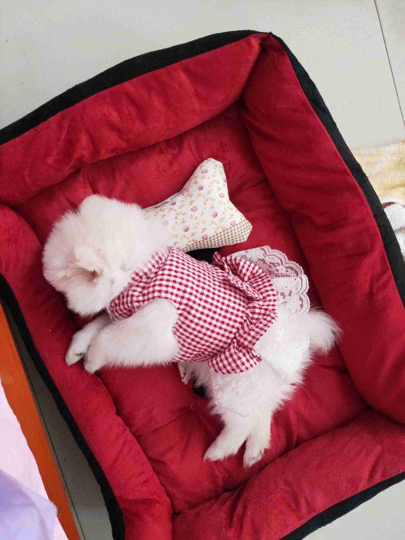 博美的生活太幸福了,它在窝里枕着枕头睡觉真是太萌了