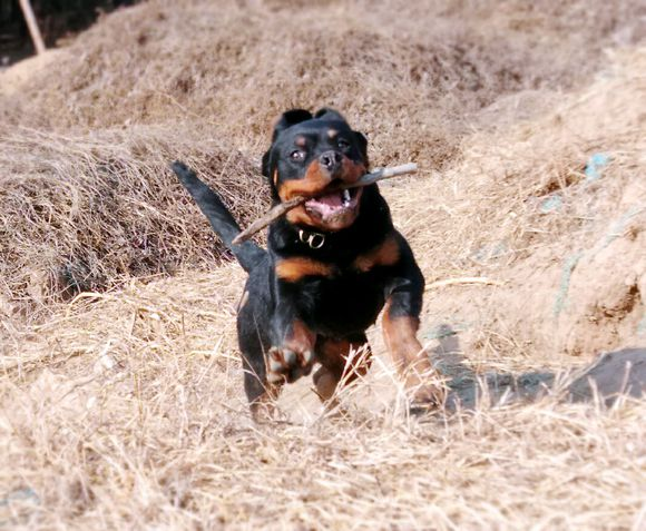 罗威纳捡了根木棍,玩了一天都不撒嘴,玩的还挺开心