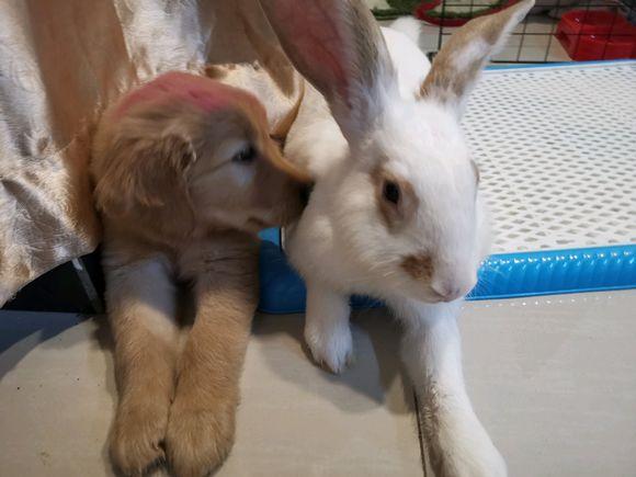 """金毛和兔子""""恋爱""""了,金毛还有几分羞涩,汪:算早恋不?"""