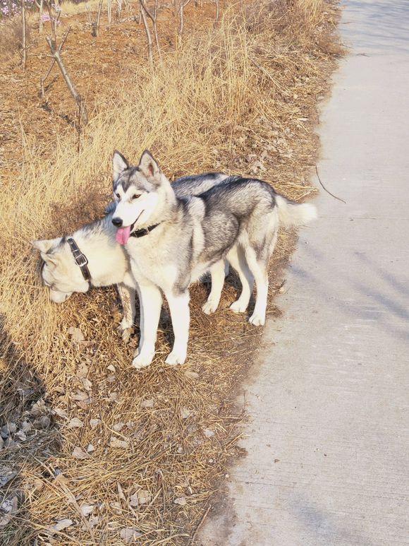 """网友出来""""遛狼""""了,要不是它在车上的表现真以为是狼"""
