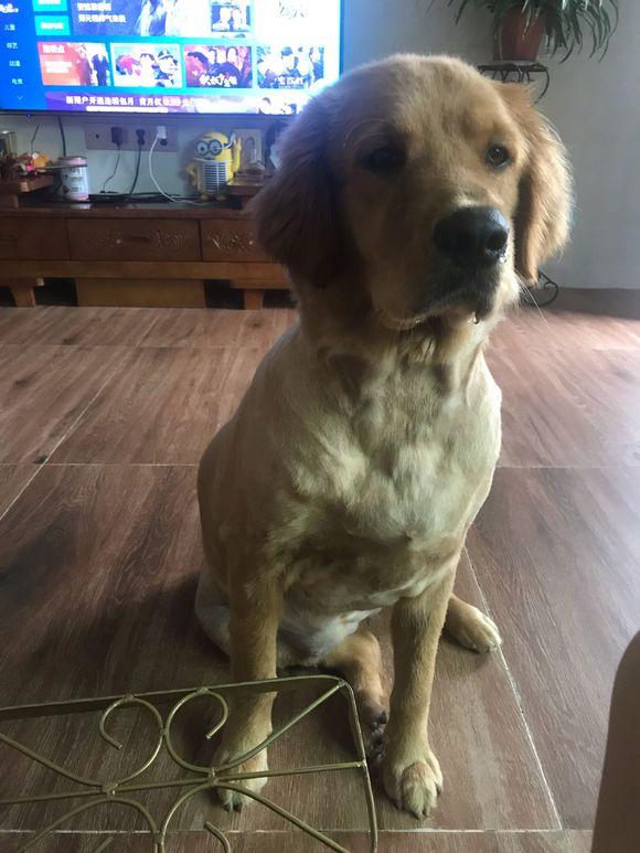 金毛自己在家的时候要看电视,而且它看得还非常认真