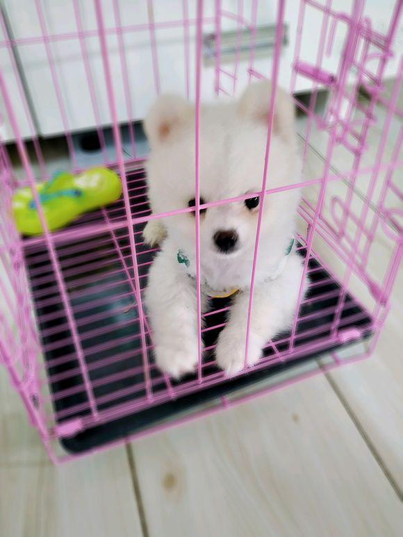 网友养了一只博美,把它关在笼子里,出门时把它……