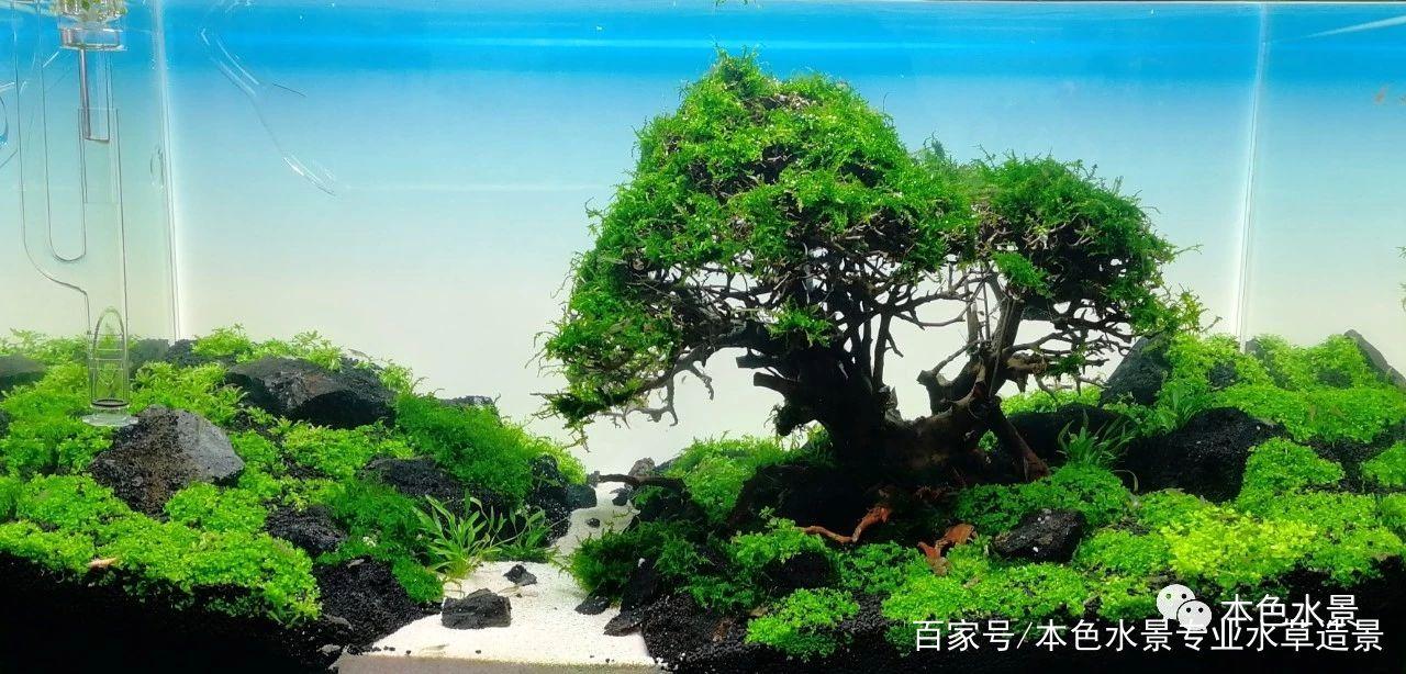 本色水景-各种莫斯树,总会你喜欢的,水族生态缸造景培训加盟