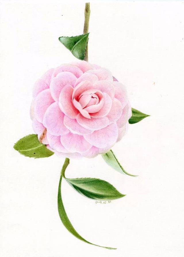 茶花——彩铅画,简单易学,简易收藏