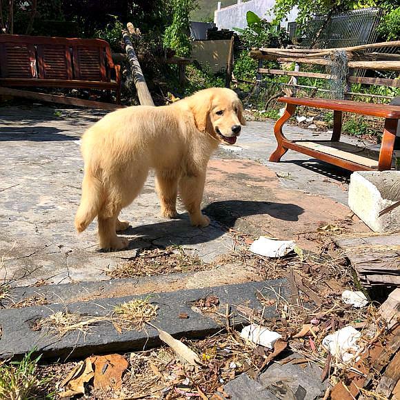 金毛跟主人在小院里生活,它经常跑出去玩,生活很惬意