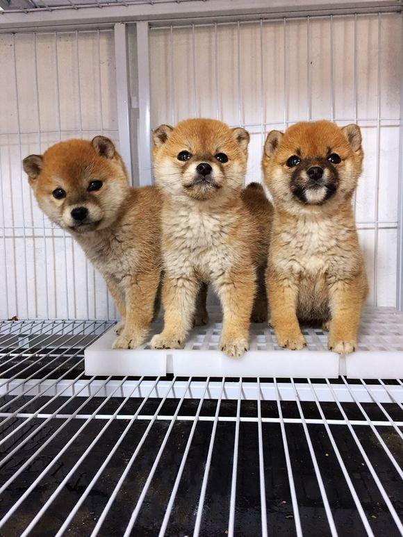 """柴犬""""三兄弟""""想要逃离牢笼,它们心有灵犀同时发现机会"""