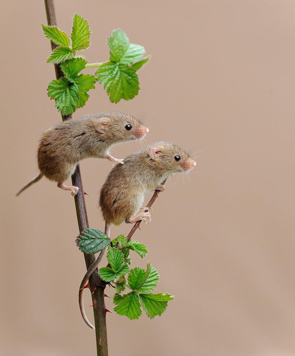 """984年女鼠的婚配男鼠女牛婚姻相配吗"""""""
