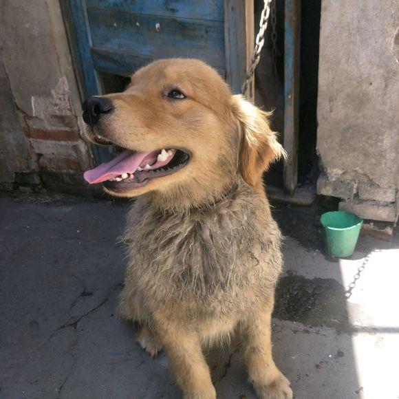 金毛走丢后被人收养了,生活条件虽不好,但它很开心