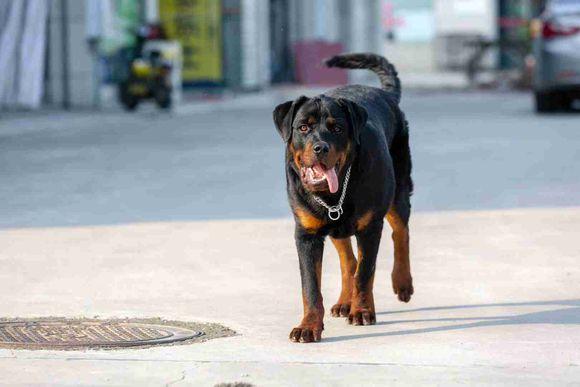 罗威纳正在店门口玩儿,看到有人它的反应让人很意外