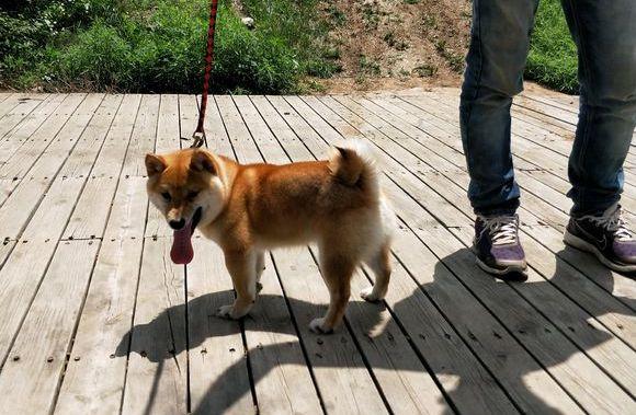 从国外引进的柴犬品种,看着还不错,柴犬:我来自岛国!