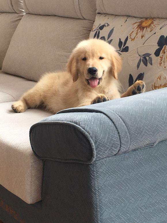 金毛很向往外面,网友不带它出去,它爬到沙发上往外看