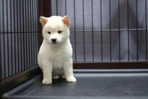 柴犬被关在笼子里不开心,主人一个动作把它给逗笑了