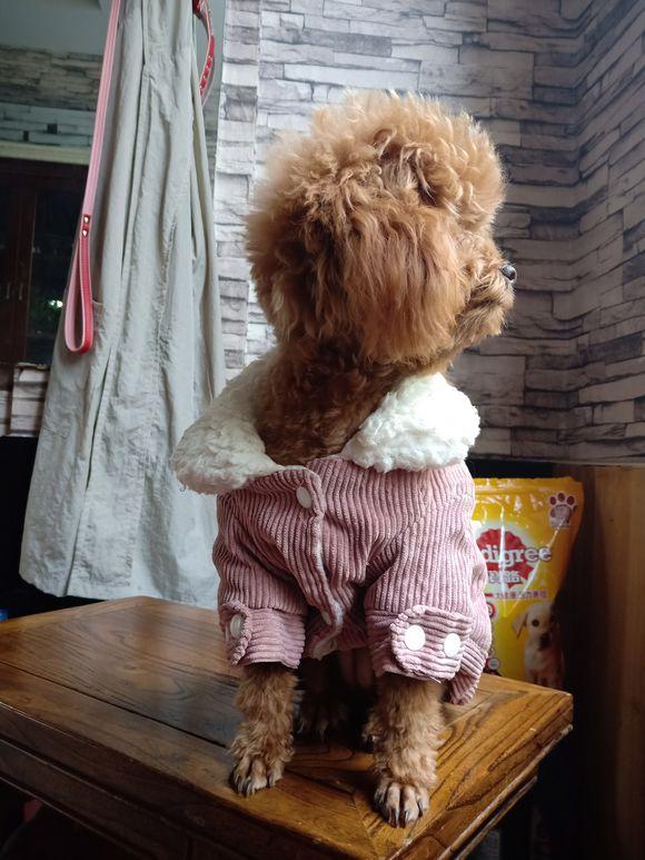 冬天了,泰迪也开始穿上衣服了,出门也要暖暖哒!