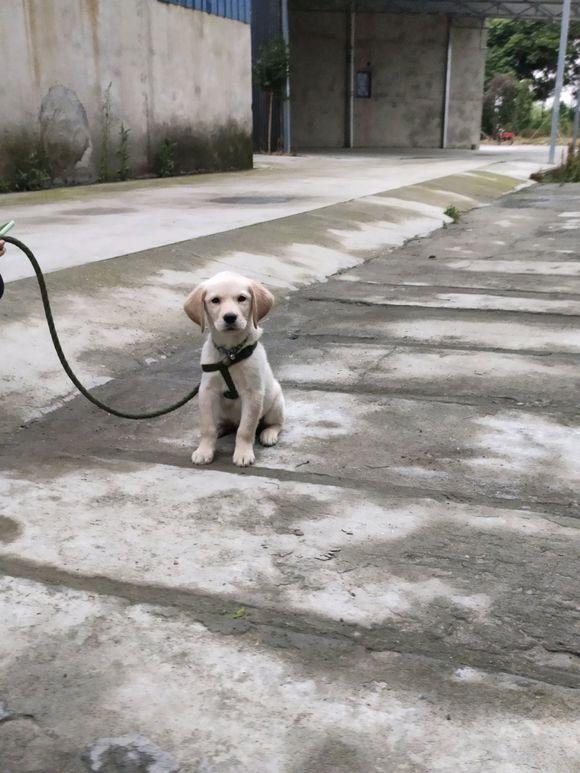 家人不让养狗,网友偷偷买了只拉布拉多,带回家被嫌弃