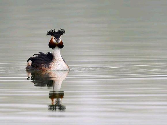 这是一种水鸟,它叫鸊鷉,在喂食的那一瞬间好温馨!