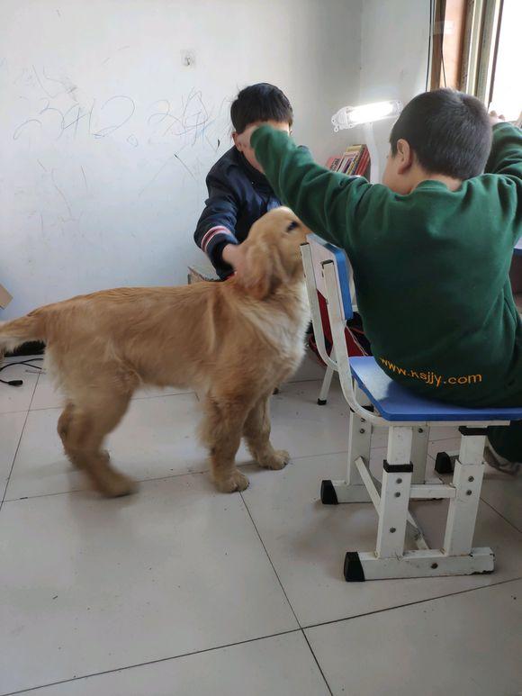 孩子正在写作业,狗狗过来捣乱,金毛:我们一起玩儿!