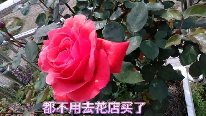 思敏老师的楼顶花园:鲜花怒放,草莓 蓝莓 葡萄挂满枝头