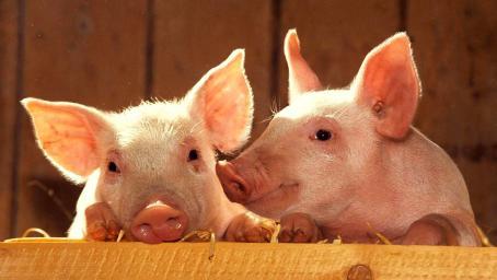 跌了!11月以来 猪肉批发价格首次出现连续5日下降