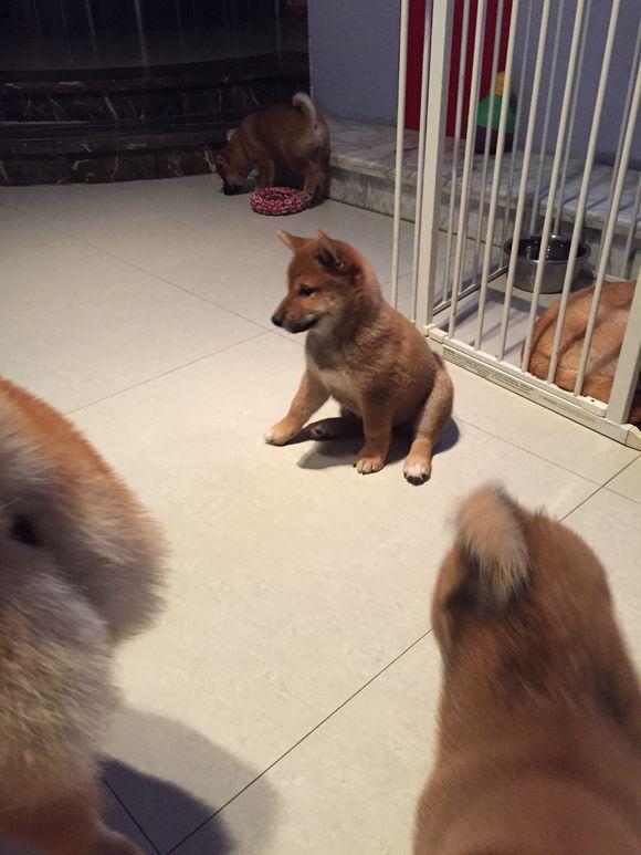 家里养了一窝柴犬,真是够热闹的,其中有两只太调皮了!