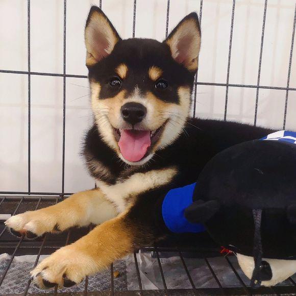 网友刚买了只柴犬,养狗之后发现,何以解忧唯有小狗