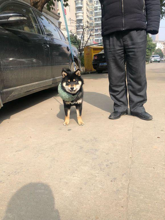 柴犬已经五个月了,它准备背上行囊独自去旅行!