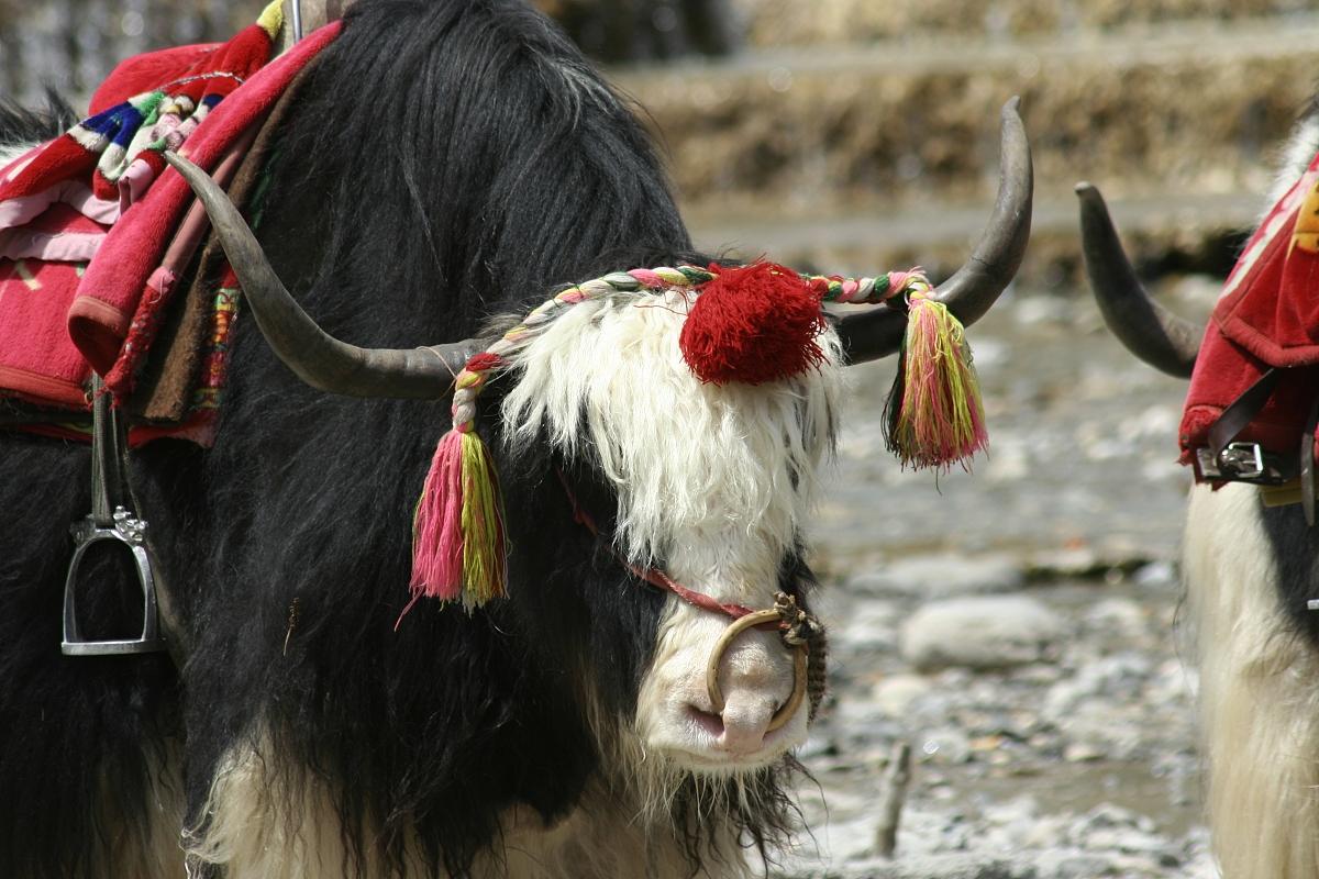属牛人的婚配与什么属相最合适男属牛的和什么属相最配