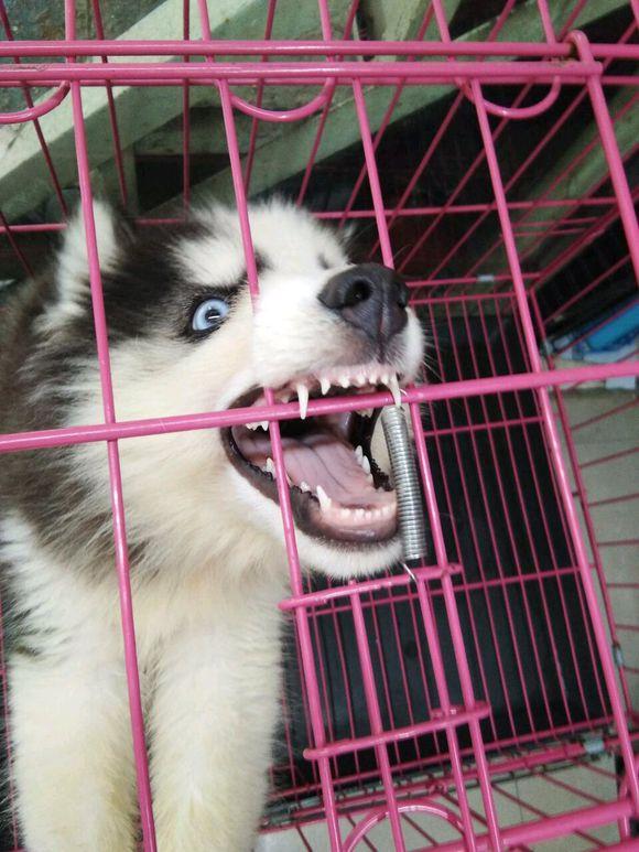 """二哈在笼子里""""喊话"""",主人却无视它的行为,二哈直接怒了"""