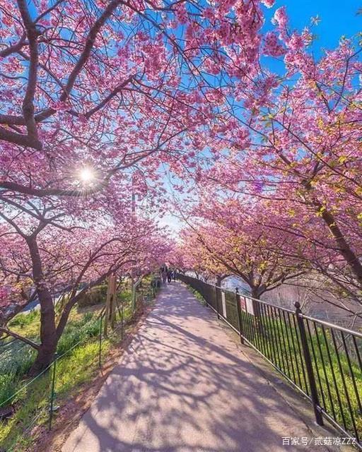 在那樱花盛开的地方