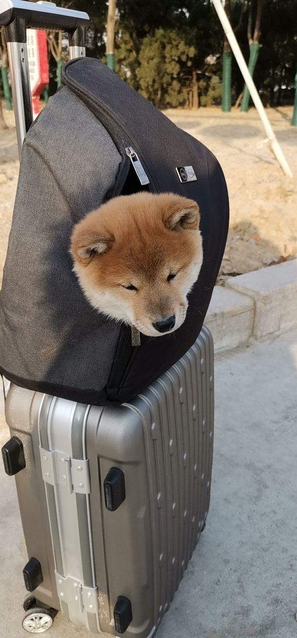 网友能把柴犬带上高铁,一路上可给柴犬憋坏了!