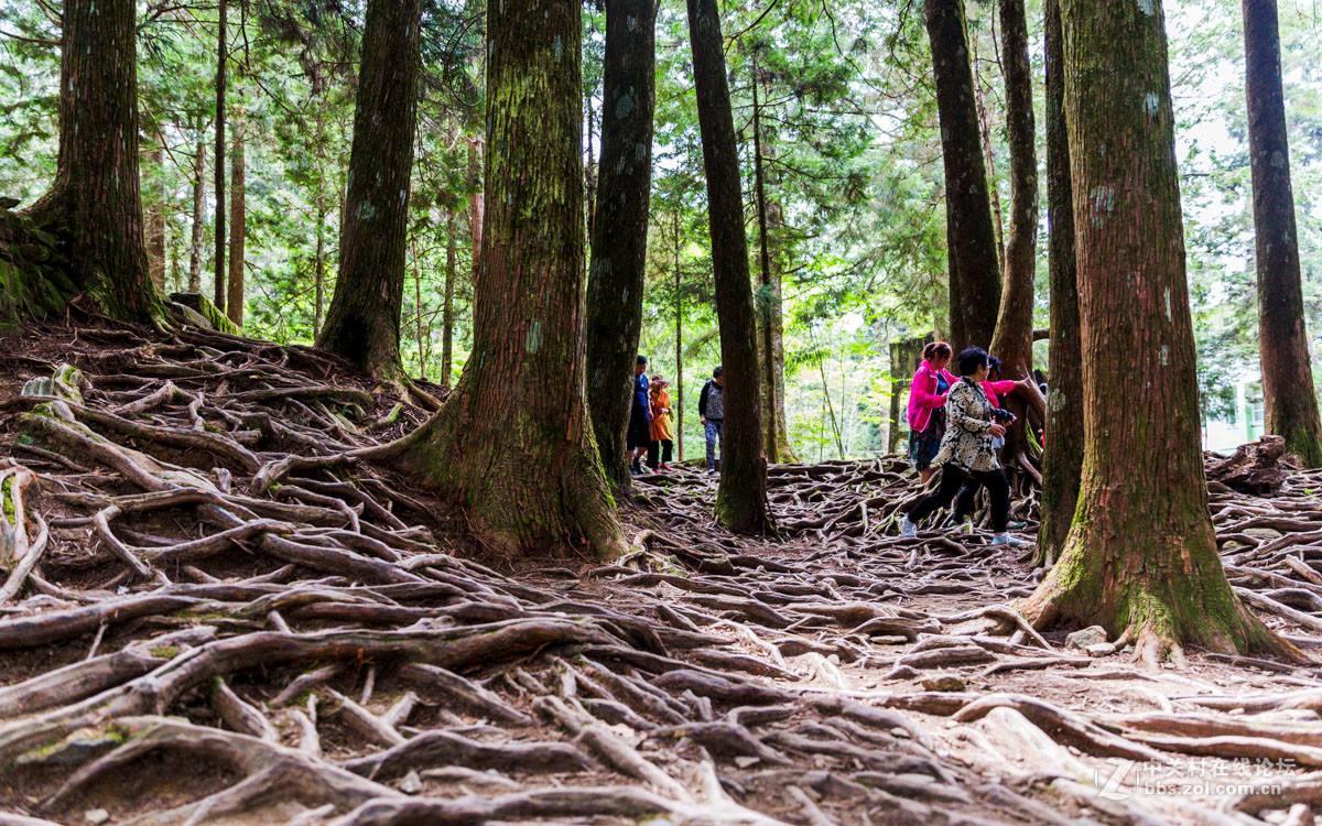 农民花30万买下千年古树,将大树横向锯开后,这钱花得不冤枉!