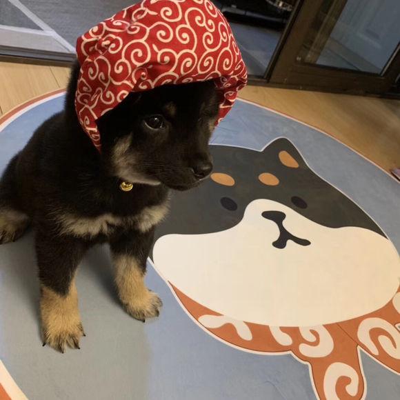小柴犬长得很精神,主人不在家它自己就在笼子里玩儿