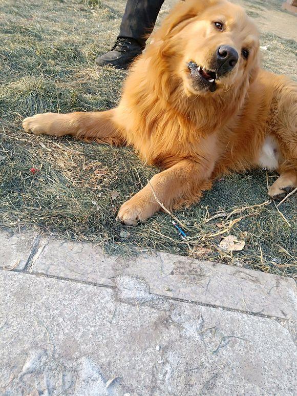 金毛长得太快了,五个月86斤,带它出去都拉不住它!