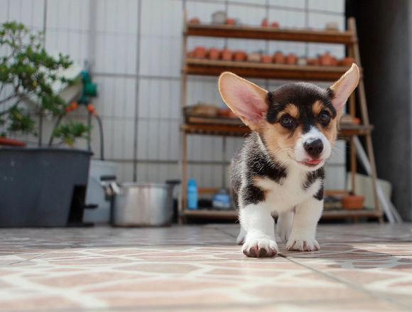 随着柯基一点点长大,它的耳朵也在变大,而身上的黑毛却少了