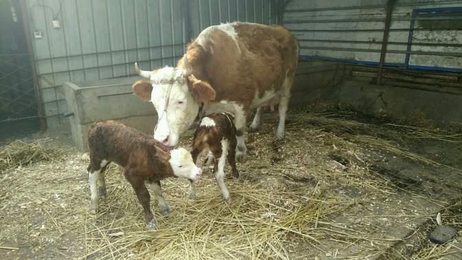 东北养牛大伟,这吉林西门塔尔牛太给力了,喜获一对双胞胎