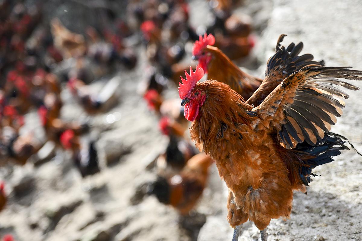 属鸡今日运势如何2020年属鸡人的全年运势