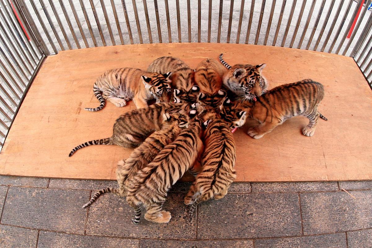 属虎今年有一难是几月会好转吗 属虎人的灾难年龄