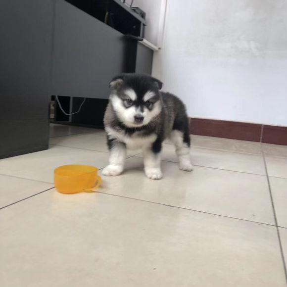 阿拉斯加好奇心很重,没它都不敢碰的,还跟其他狗狗自来熟