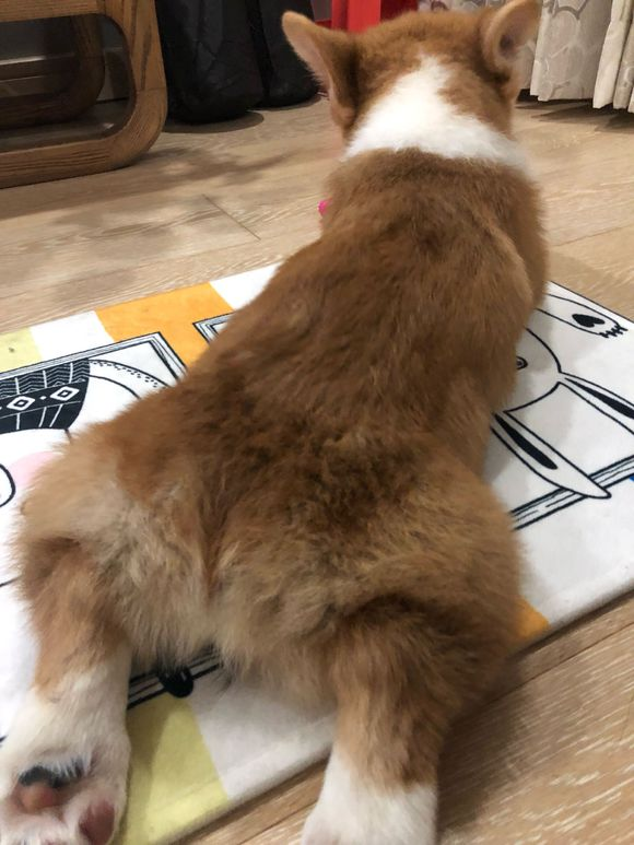 网友刚买了一只柯基,它吃东西时腿摆放的位置很有意思!