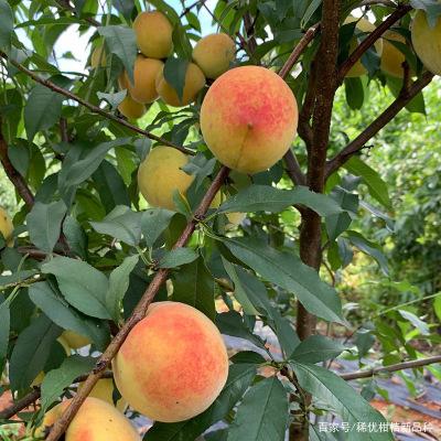 黄桃苗如何种植介绍