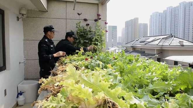 男子阳台种罂粟被无人机发现 铲除时部分已挂果,罂粟主人被拘